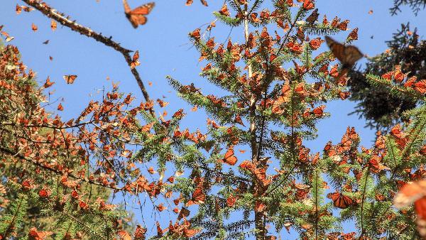 米却肯州帝王蝶自然保护区一日游【墨西哥城出发】